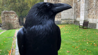tower london missing raven