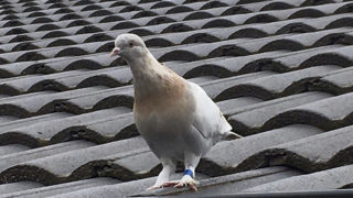 pigeon melbourne oregon