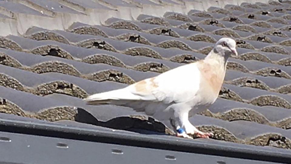 joe pigeon united states