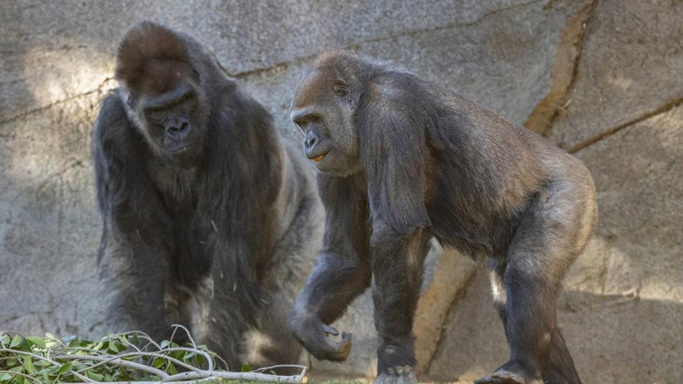 san diego zoo covid gorilla