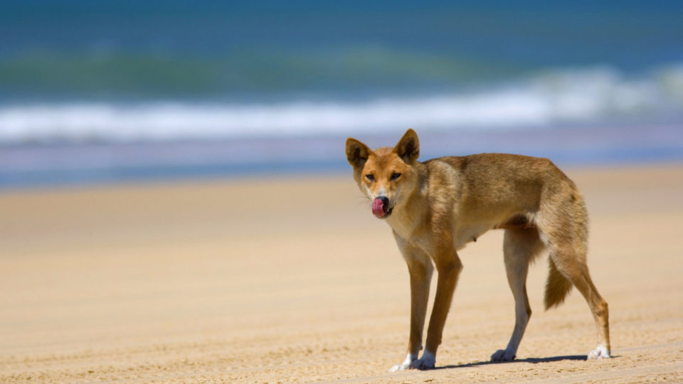 dingo boy bite fraser island