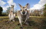 kangaroo woman injury