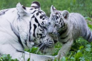 white tigers die covid