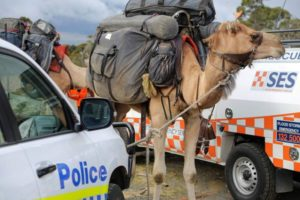tasmania camels