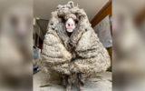 baarack sheep woolly