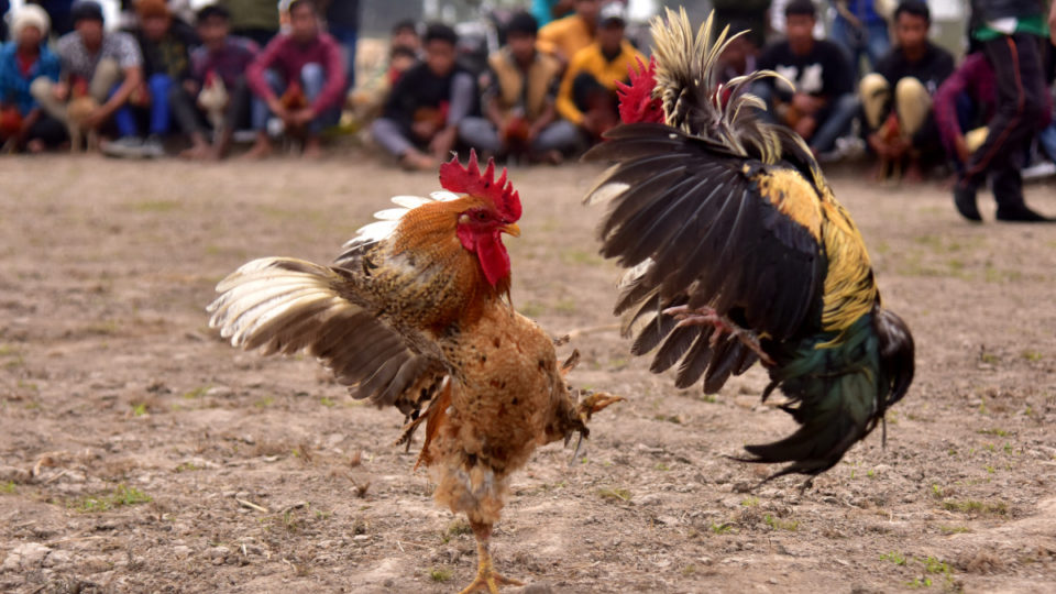 india rooster kill man