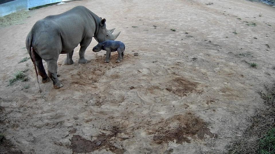 black rhino baby dubbo