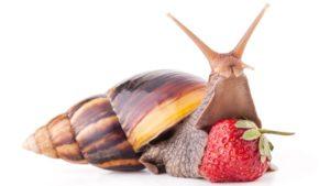 african snails australia
