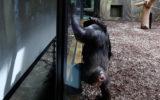 Chimp czech zoo