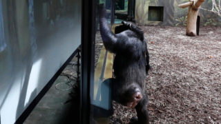 Chimp czech zoo