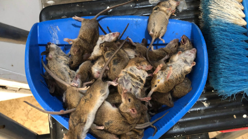 mice plague nsw
