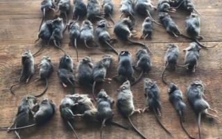 mice plague victoria