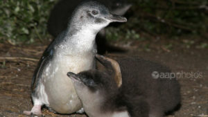 penguins victoria