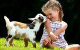 Nigerian mini goat