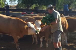 cattle farmer injured