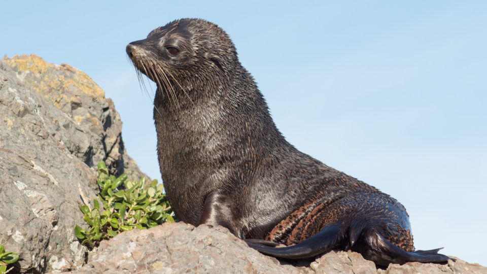 thenewdaily.com.au - War on seals: The 'cruel measures' used by Tasmania's salmon farming industry