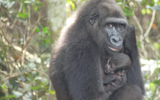 gorillas-baby