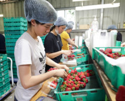 Workers sorting strawberries