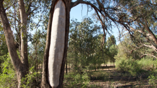 A Wiradjuri scar tree located on the outskirts of Narrandera, NSW.