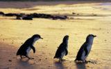 penguin parade livestream