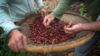 Farmers check coffee beans handpicked at their farm located in Forquilha do Rio, municipality of Dores do Rio Preto, Espirito Santo, Brazil