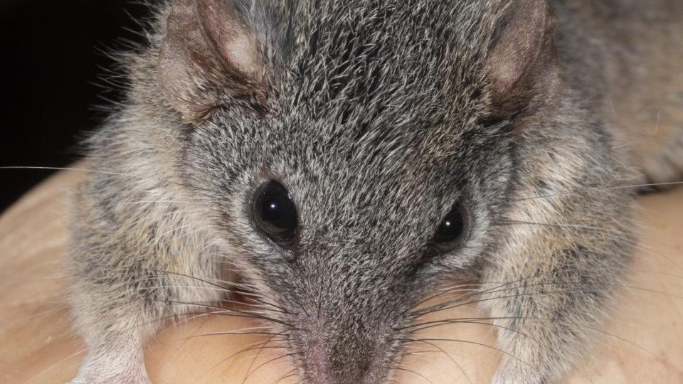 fire marsupial australia