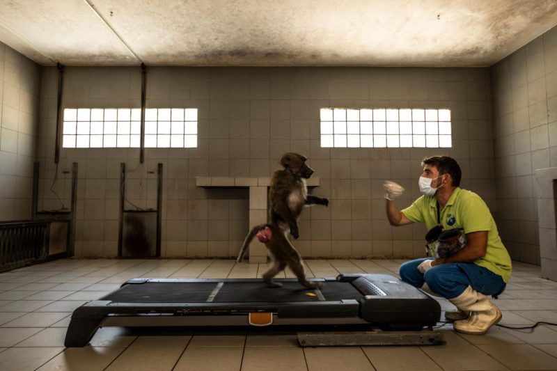 """""""Learning to Be Human"""" captures a researcher using a baboon to study the evolution of human locomotion"""