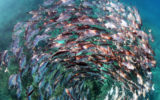 A school of jack fish in a spiral formation at Heron Island in the Great Barrier Reef. A visual metaphor for the spiralling crisis unfolding within our oceans and the need for concentrated efforts to protect marine ecosystems.
