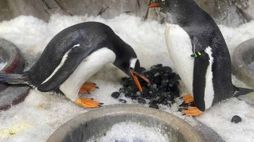penguins male nest
