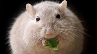 intermittent fasting mice