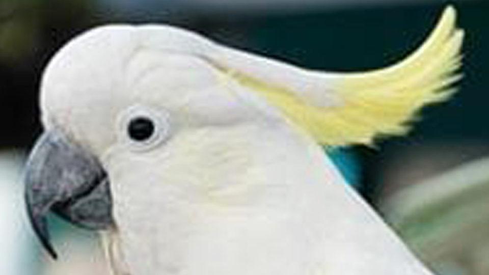 jacko cockatoo stolen