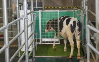 cows toilet training