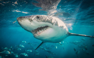 Australia shark attacks