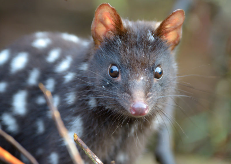 Eastern quolls will be reintroduced to Sydney.