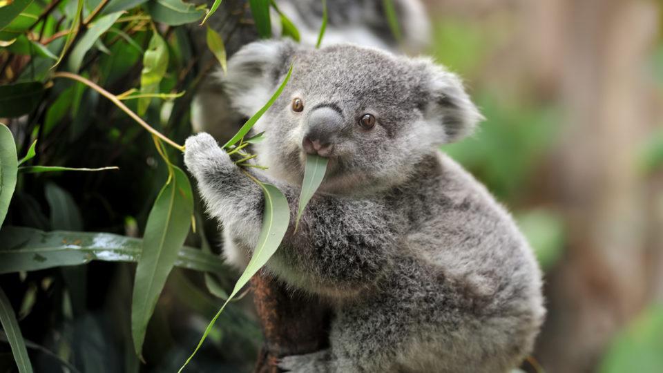 Koalas will be reintroduced to Sydney
