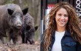 Shakira v wild boar