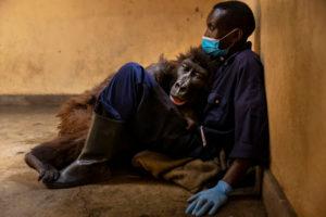 ndakasi gorilla die